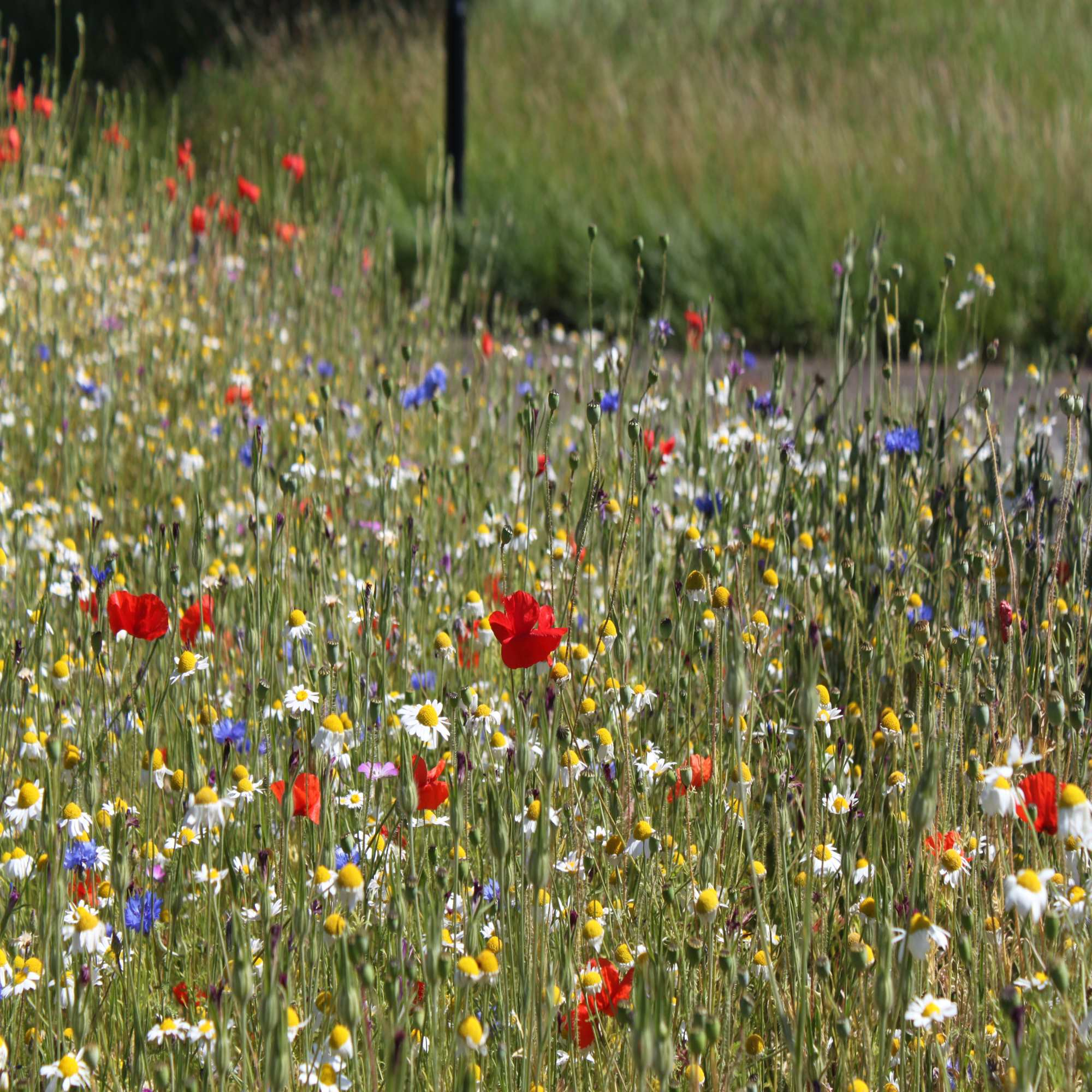 Mixed Wildflower Colours