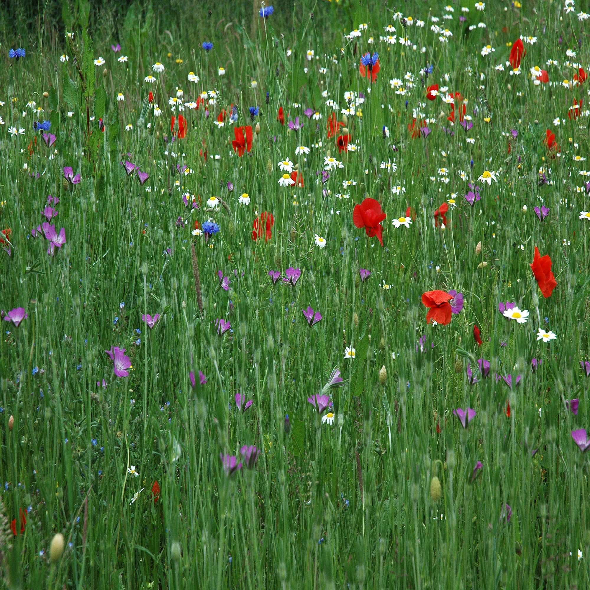 Wildflower Meadow Seed